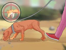 how to train a squirrel dog 12 steps with pictures wikihow