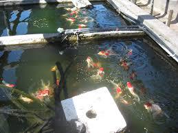 of ornamental fish in uruguay fish consulting