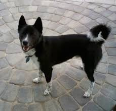 american eskimo dog calgary imo inu dog breed information and pictures