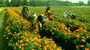 marigold flower garden in bangladesh how to plant grow and