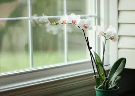 Orchid Plant How To Grow Orchids Indoors