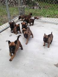 belgian malinois for sale belgian malinois for sale ads free classifieds