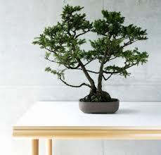 bonsai tree plants bad feng shui