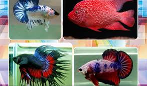 unique ornamental fish types android apps on play