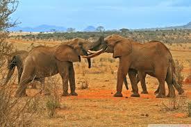apple wallpaper elephant elephants fighting 4k hd desktop wallpaper for 4k ultra hd tv
