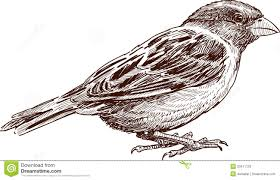 sketch of sparrow royalty free stock images image 33411129