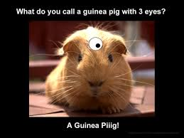 Guinea Pig Meme - what do you call a guinea pig with 3 eyes