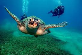 11aacc color wallpapers ocean animals diver turtles animal