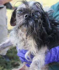 affenpinscher texas donate to the spca of texas to help animals of north texas spca
