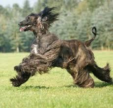 afghan hound and labrador retriever 122 hound labrador retriever pictures page 4
