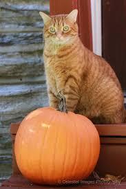halloween kittens 168 best cats u0027n pumpkins images on pinterest halloween cat