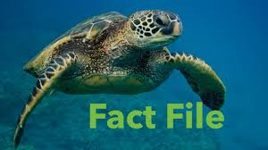 facts about the sea turtle youtube
