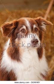 8 year old australian shepherd australian shepherd dog red stock photos u0026 australian