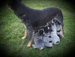 australian shepherd cattle dog 358 best dogs australian cattle dogs images on pinterest