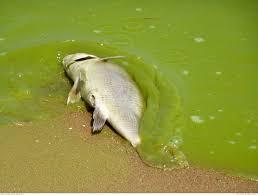 harmful algal blooms great lakes region