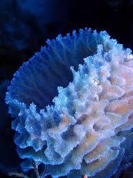 Azure Vase Sponge Facts 563 Best Images About Ozean Underwaterlife On Pinterest