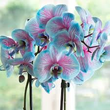 blue orchids pink blue orchid flower pink blue