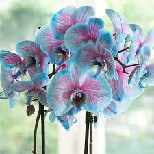 Blue Orchid Flower Pink U0026 Blue Wonder Orchid Flower Pinterest Pink Blue