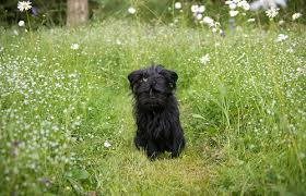 affenpinscher white affenpinscher pictures and informations dog breeds com