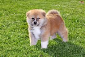 boxer dog pros and cons the akita inu dog a good choice of pet pets4homes