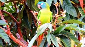 backyard birding and nature wild parrots feral blue crowned