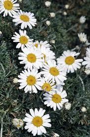 rhodanthemum hosmariense moroccan daisy rhs gardening