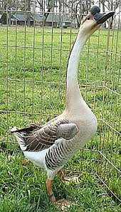 all about light and ornamental goose breeds countryside network
