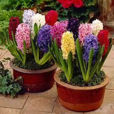 fall gardening with 9 stunning perennial flowering bulbs
