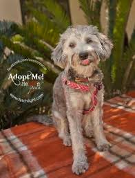 australian shepherd rescue san diego and friends rabbit the 12 week old terrier aussie poodle mix is available to