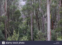 eucalyptus trees in mountain forest great otway national park