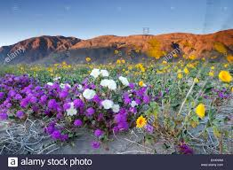 spring wildflowers blowing in the wind anza borrego desert state