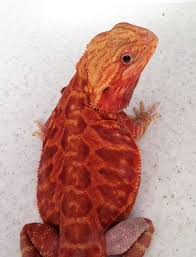 redhot male breeders bearded dragon breeders canada