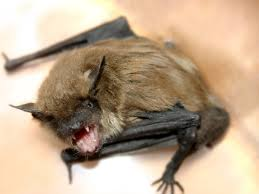 how to get rid of bats bat facts removal pestworld