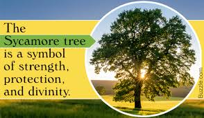 stupefying sycamore tree facts that will leave you amazed