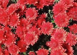 free photo flowers mums fall blossom autumn max pixel