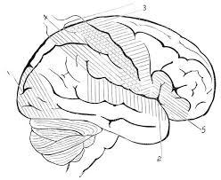 Human Anatomy Human Brain Coloring Pages Bulk Color Brain Coloring Page