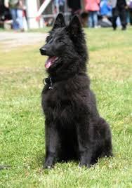 adopt a belgian sheepdog petango com u2013 meet mufasa a 1 year dutch shepherd retriever