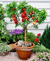 miniature fruit trees miniature patio fruit trees mirror