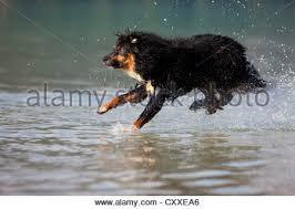 australian shepherd jumping jump into water stock photos u0026 jump into water stock images alamy