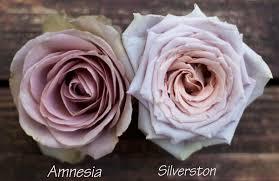 roses colors the lavender purple study flirty fleurs the florist