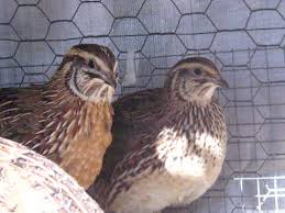 quail breeds and how to pick the right bird for you backyard