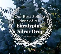 silver drop eucalyptus and the winner is the herb exchange