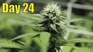 cannabis flower indoor marijuana plants day 24 of flower nitrogen toxicity a dab
