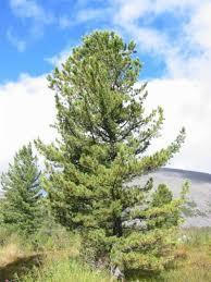 Cone Tree Recipe Ideas