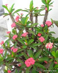 euphorbia milii another plant for our garden common name u0027crown
