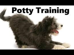 bearded collie adoption how to potty train a bearded collie puppy bearded collie house