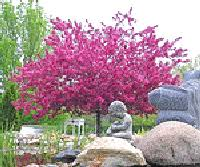 prairie crabapple trees are beautiful deciduous trees that