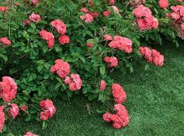 drift groundcover roses roses plants