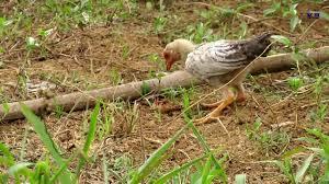 wow giant centipede vs small chicken battle amazing chicken