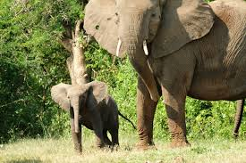 in elephant society matriarchs lead animal behavior